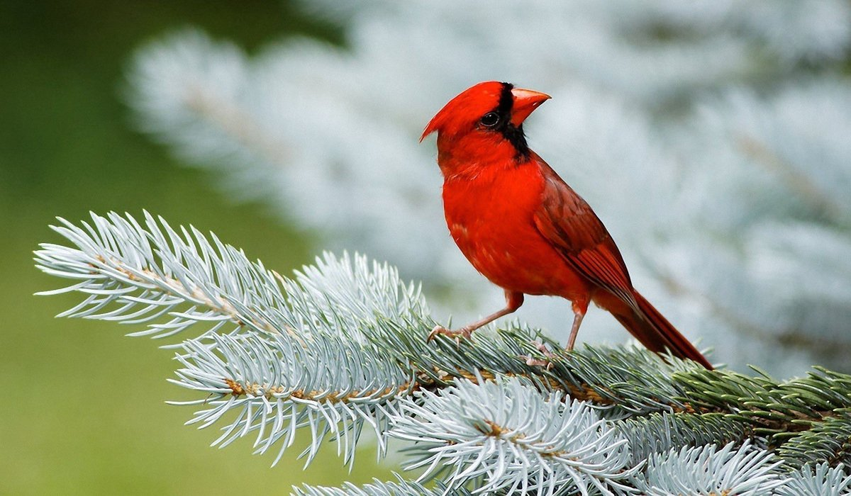 Red bird of winter annette opalczynski nature poems lovepoemshome lovepoemshome lovepoemshome buycottarizona Images