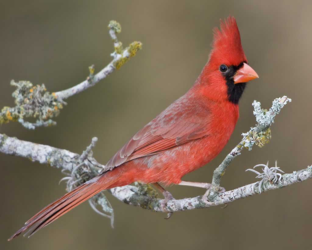 Red bird of winter annette opalczynski nature poems cardinal bird lovepoemshome lovepoemshome lovepoemshome lovepoemshome lovepoemshome lovepoemshome buycottarizona Images